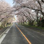三重県木曾岬桜満開