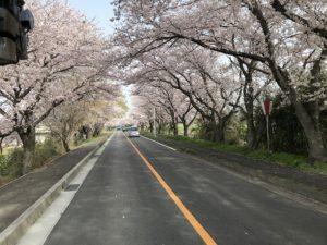 木曾岬町桜満開